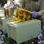 Expanded Polystyrene Bee Hives Protect Endangered Honey Bees
